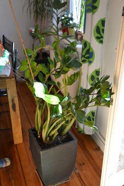 Zimmerpflanzen Umtopfen - Ratgeber - Schoener-balkon.de Tipps Umtopfen Zimmerpflanzen